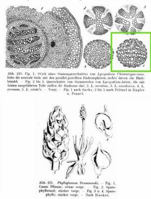 Lycopodium volubile