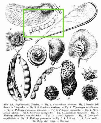 Hippocrepis unisiliquosa