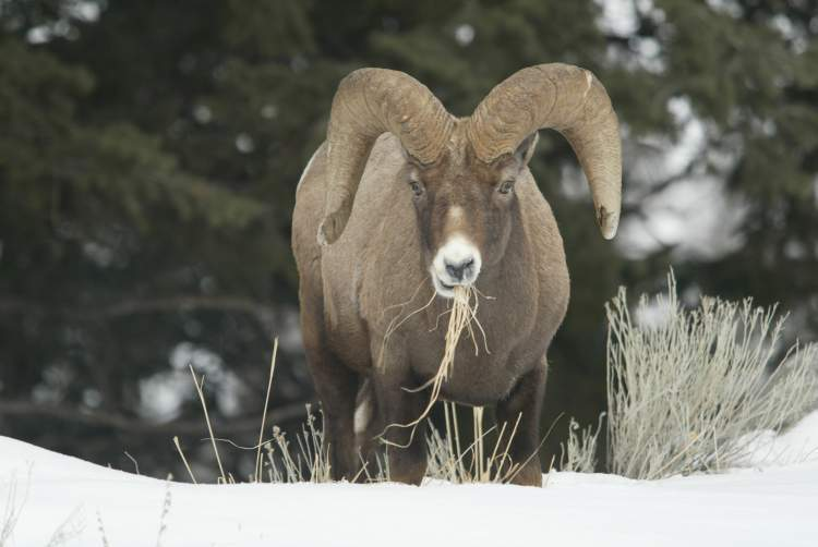 of bighorn sheep ram above