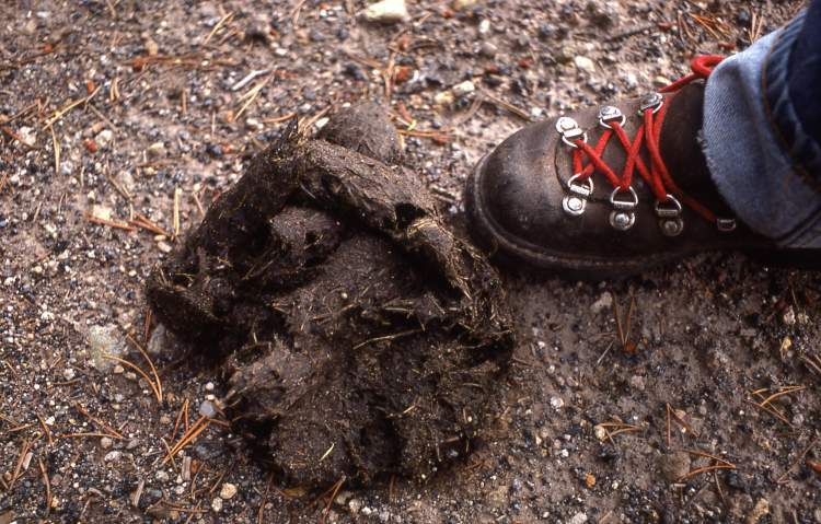 Grizzly bear scat - photo#7
