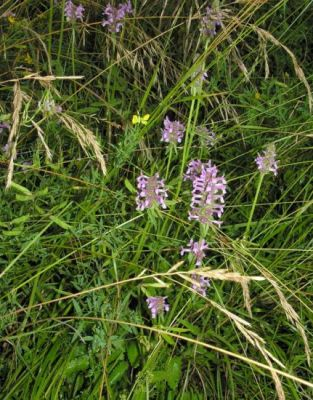 Stachys officinalis -