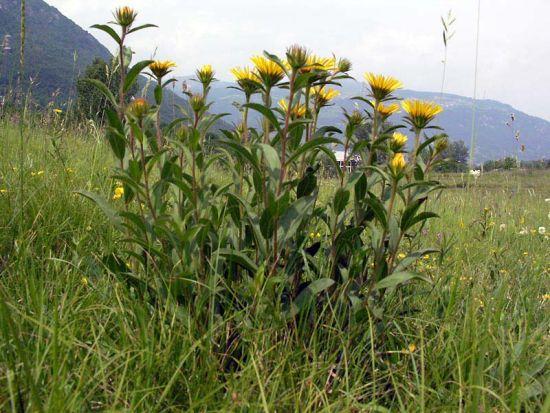 une plante Martin 1er avril trouvée par Jov' 003-inula-hirta