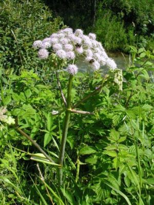 Angelica sylvestris -
