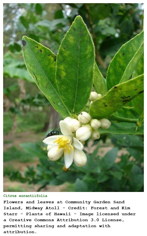 Citrus aurantiifolia (Christm.) Swingle