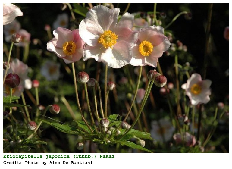 Eriocapitella japonica anemone giapponese for Anemone giapponese