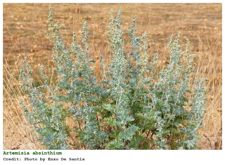 external image cpmjpgs.php?pid=158566&taxon=Artemisia%20absinthium%20L.
