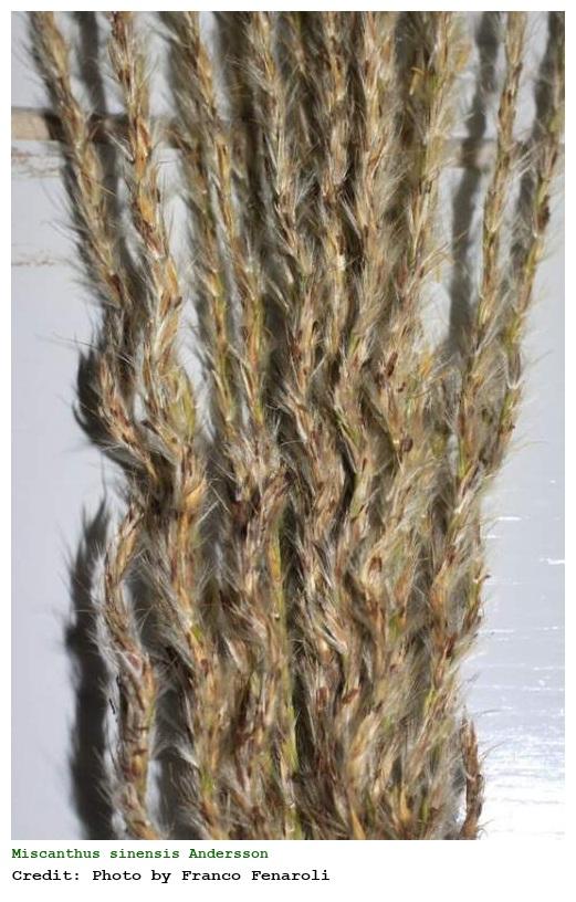 miscanthus sinensis eulalia cinese. Black Bedroom Furniture Sets. Home Design Ideas