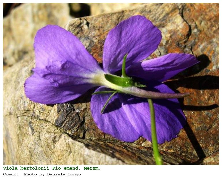 Viola bertolonii [Viola di Bertoloni] - Flora Italiana
