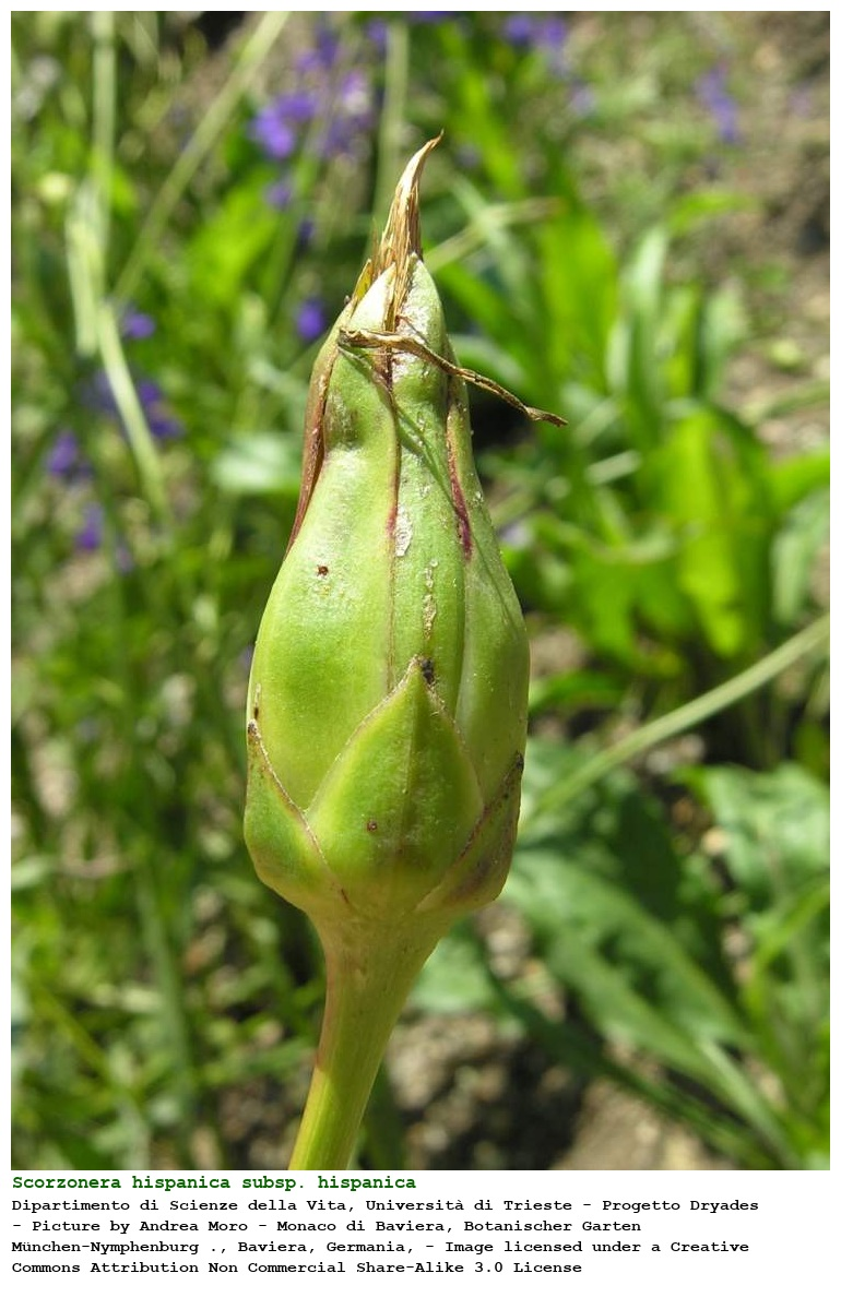 Scorzonera hispanica subsp. hispanica [Scorzonera di Spagna]