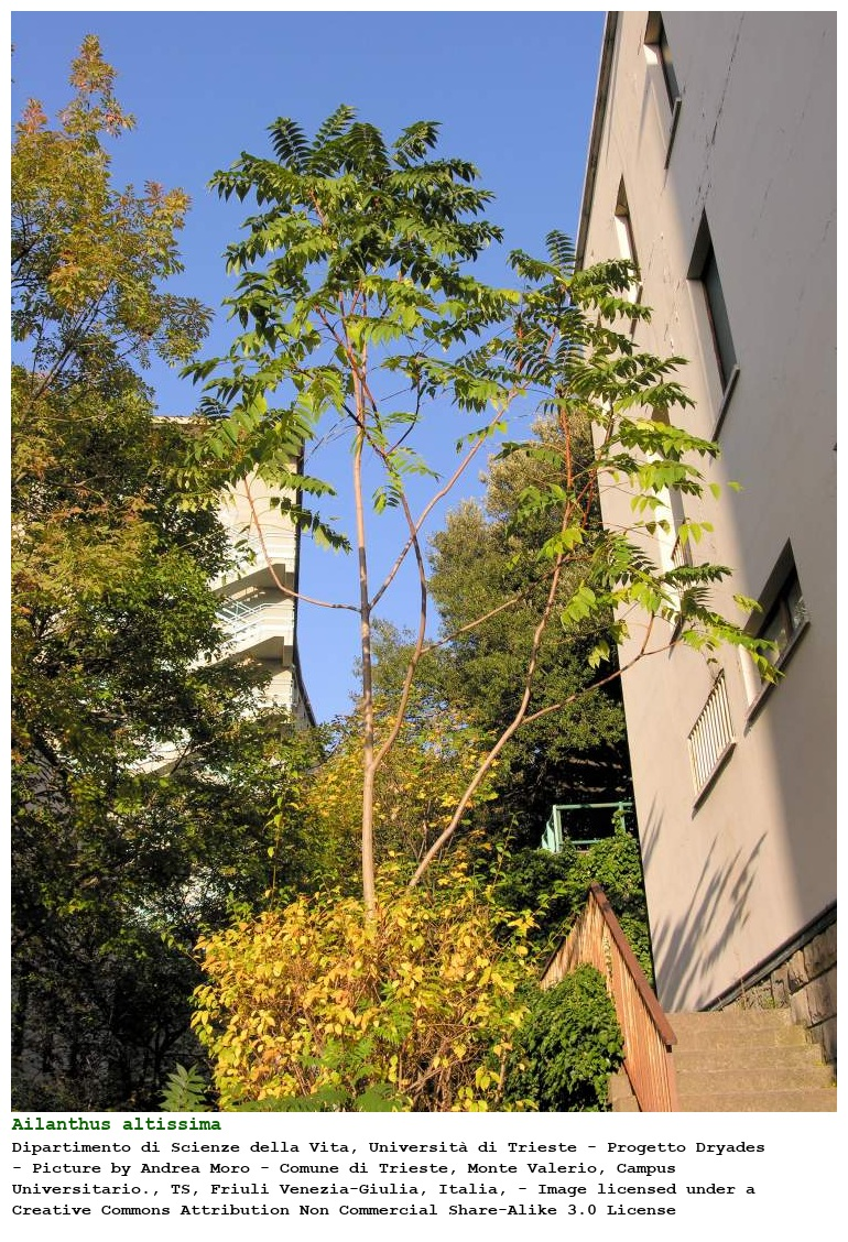 ailanthus altissima albero del paradiso