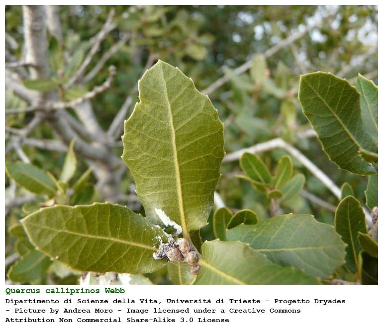Quercus Congesta Dipartimento di...