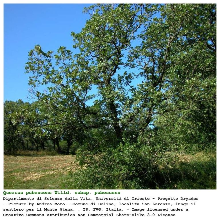 Quercus Congesta Quercus pubesce...