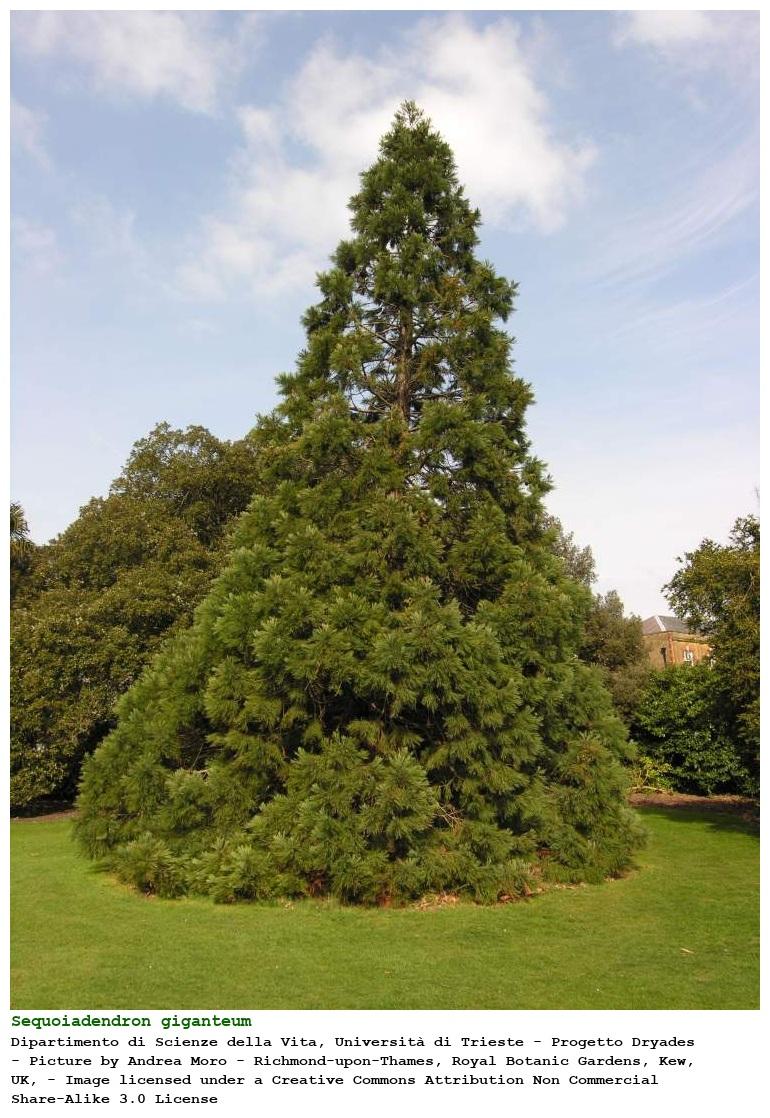 Sequoiadendron giganteum [Sequoia gigante]