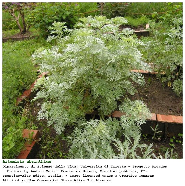 external image cpmjpgs.php?pid=233213&taxon=Artemisia%20absinthium%20L.