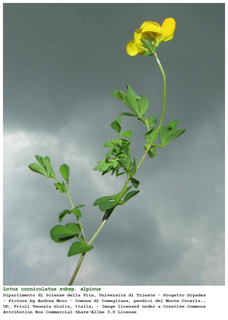 external image cpmjpgs.php?pid=234441&taxon=Lotus%20corniculatus%20L.