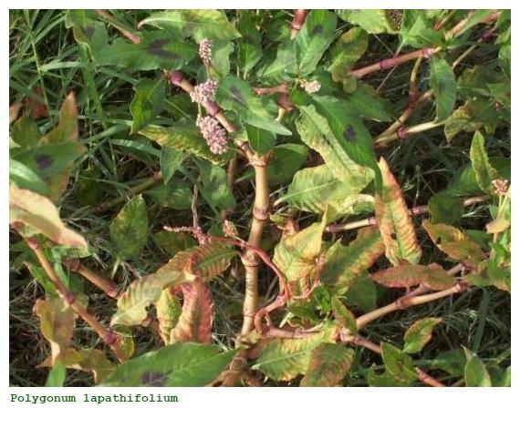 Polygonum lapathifolium L.