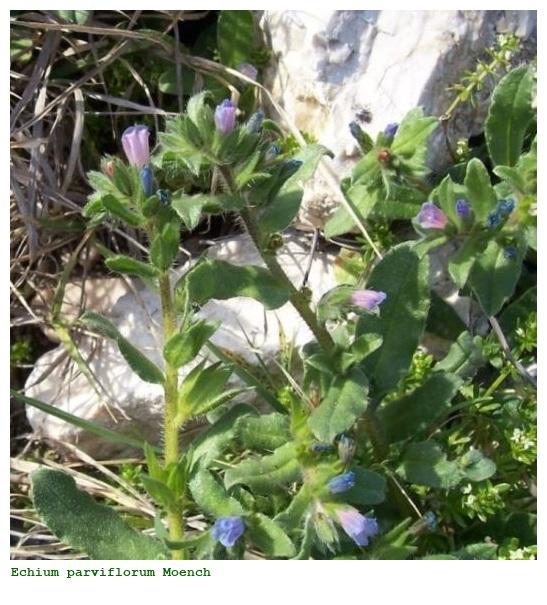 Echium parviflorum Moench (Viperina a fiori piccoli)
