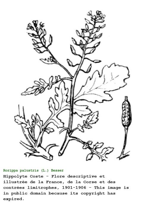 Rorippa palustris [Crescione palustre]