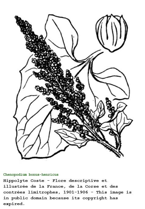 Chenopodium bonus-henricus L.