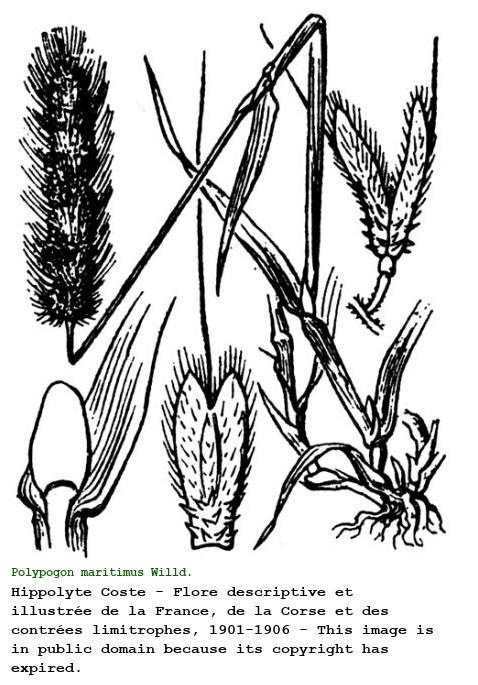 Polypogon maritimus [Coda di lepre marittina]