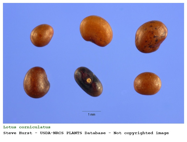 external image cpmjpgs.php?pid=70367&taxon=Lotus%20corniculatus%20L.