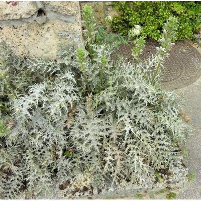 Genere Acanthus Flora Italiana