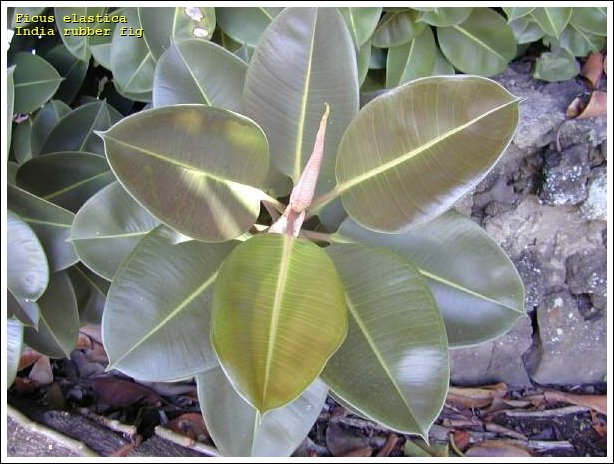 india rubber fig 26984 english common name ficus