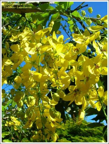 Indian-laburnum - 27179 - English common name - Cassia fistula