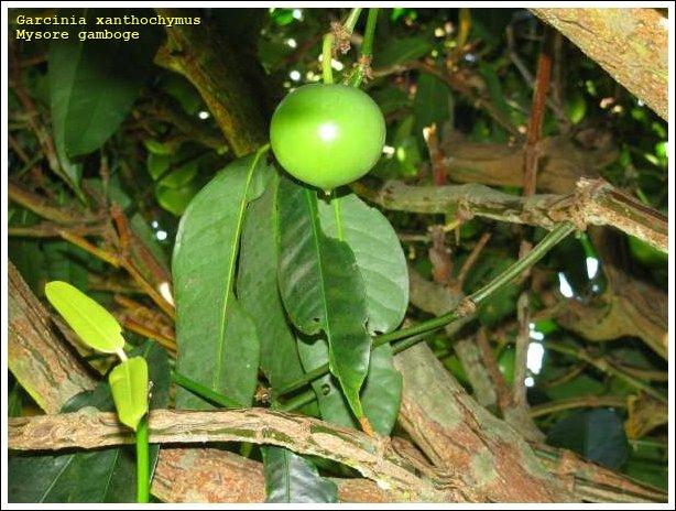 Mysore gamboge - 37912 - English common name - Garcinia