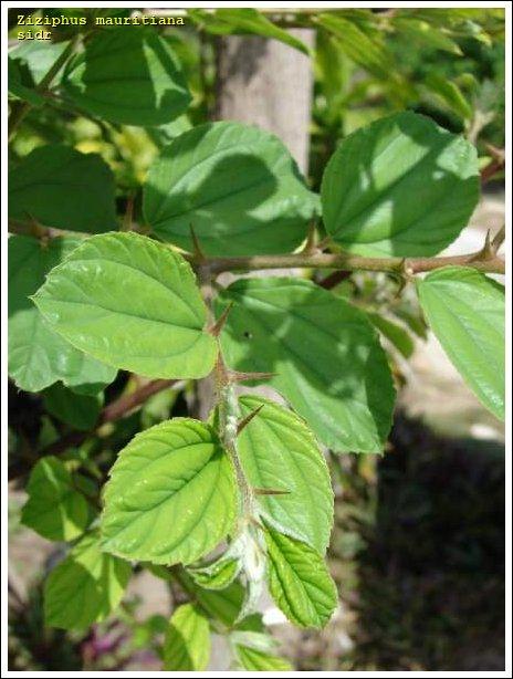 Sidr 50829 Arabic Common Name Ziziphus Mauritiana
