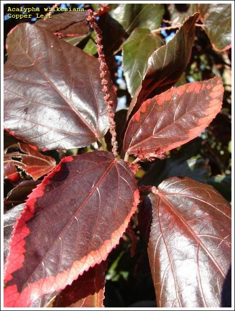 Copper Leaf 65108 Common Name Acalypha Wilkesiana