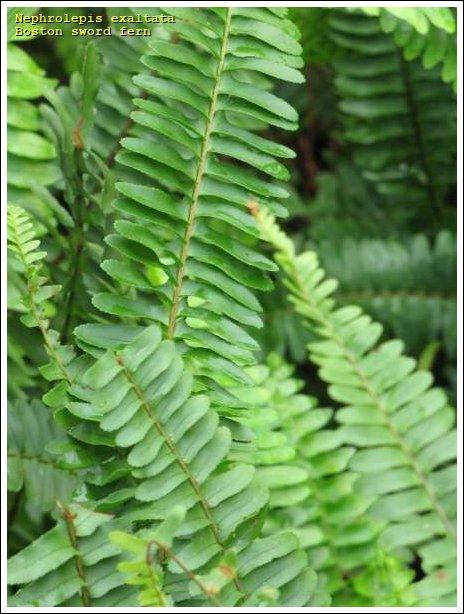 Boston sword fern 7678 english common name - Nephrolepis exaltata ...