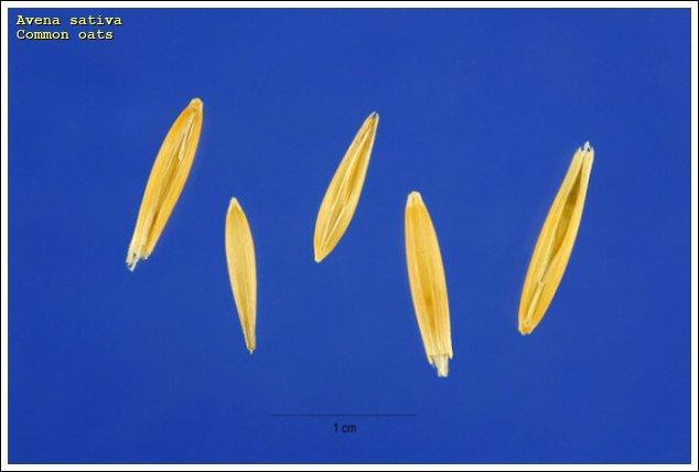 common oats