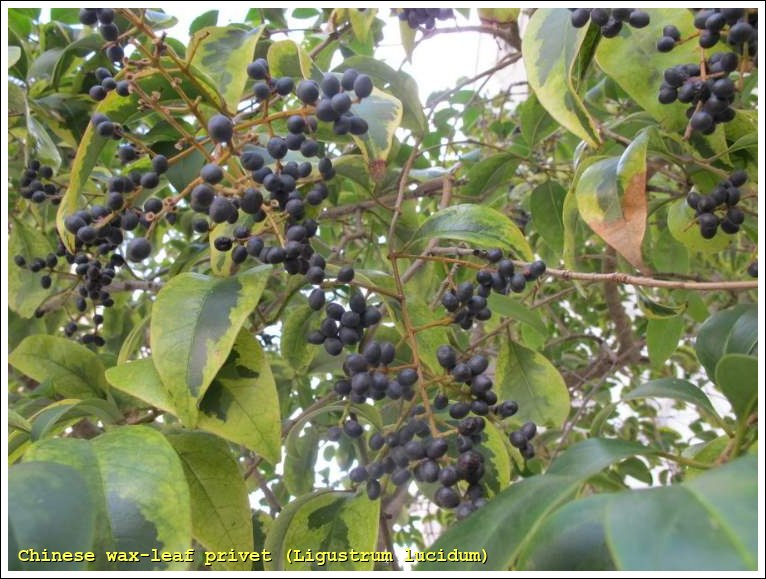 Ligustrum Wax Leaf Privet http://luirig.altervista.org/naturaitaliana/viewpics2.php?rcn=33738